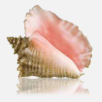 This beautiful drawing of an adult queen conch, Strombus gigas, is biologically accurate in detail.