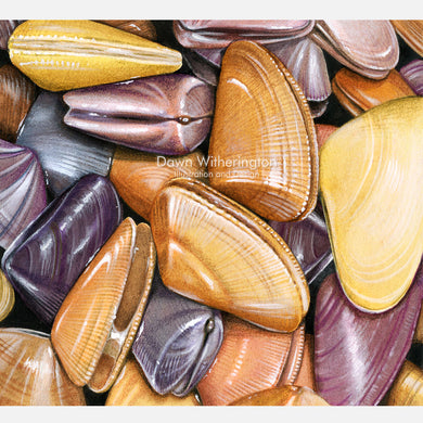This beautiful illustration of a pile of living coquina clams, Donax variabilis, is accurate in detail.