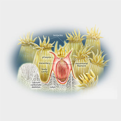 This is a cut-away illustration showing coral polyp anatomy.