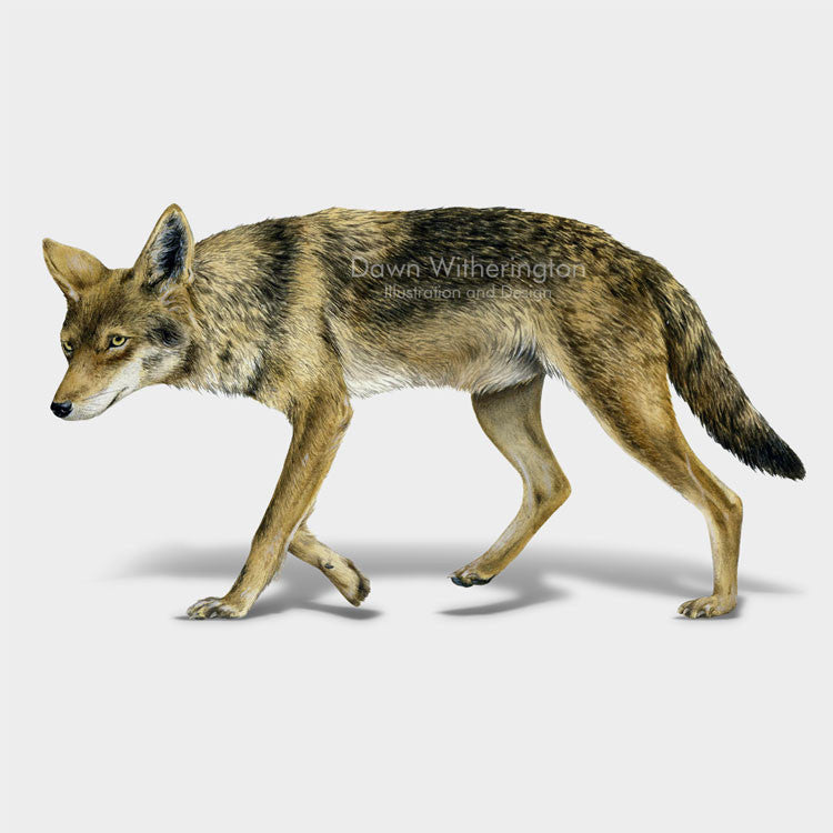 This lovely drawing of a coyote, Canis latrans, is beautifully detailed.
