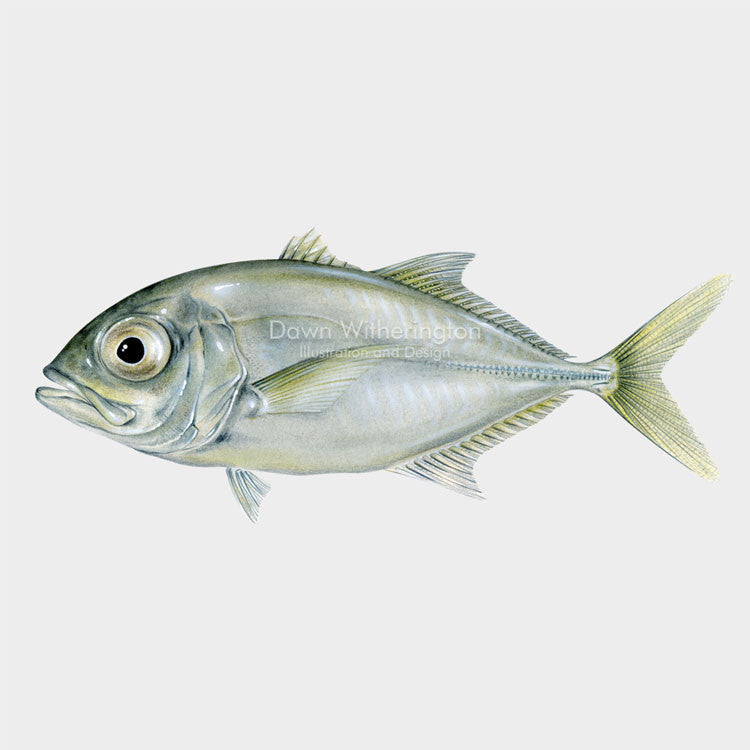 This lovely illustration of a juvenile crevalle jack, Caranx hippos, is biologically accurate in detail.