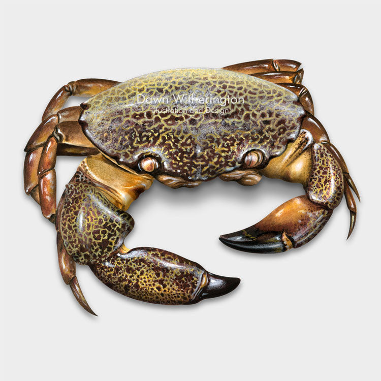 This beautiful drawing of Cuban stone crab, Menippe nodifrons, is biologically accurate in detail.