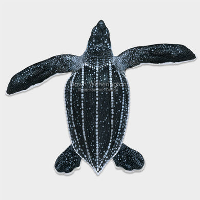 This beautiful dorsal illustration of a post-hatchling leatherback sea turtle, Dermochelys coriacea, is biologically accurate in detail.