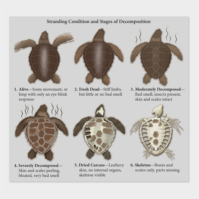 This graphic shows the stages of decomposition of a sea turtle.