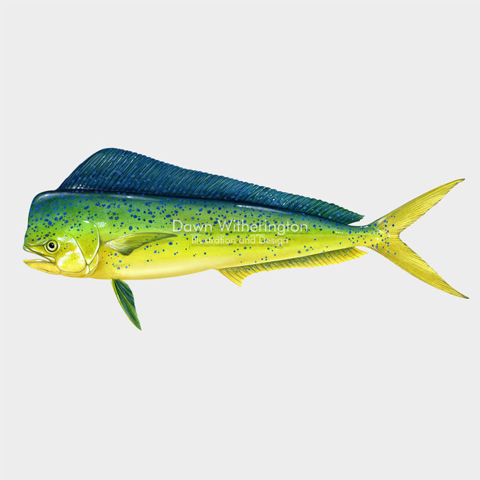 This beautiful illustration of adolphinfish, Coryphaena hippurus, is biologically accurate in detail.