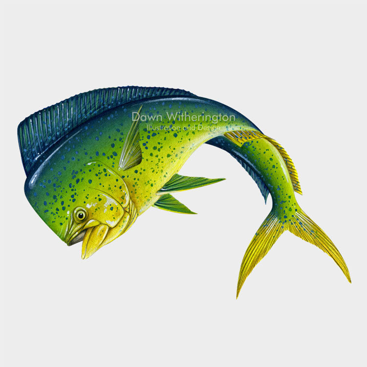 This beautiful illustration of a dolphinfish, Coryphaena hippurus, is biologically accurate in detail.