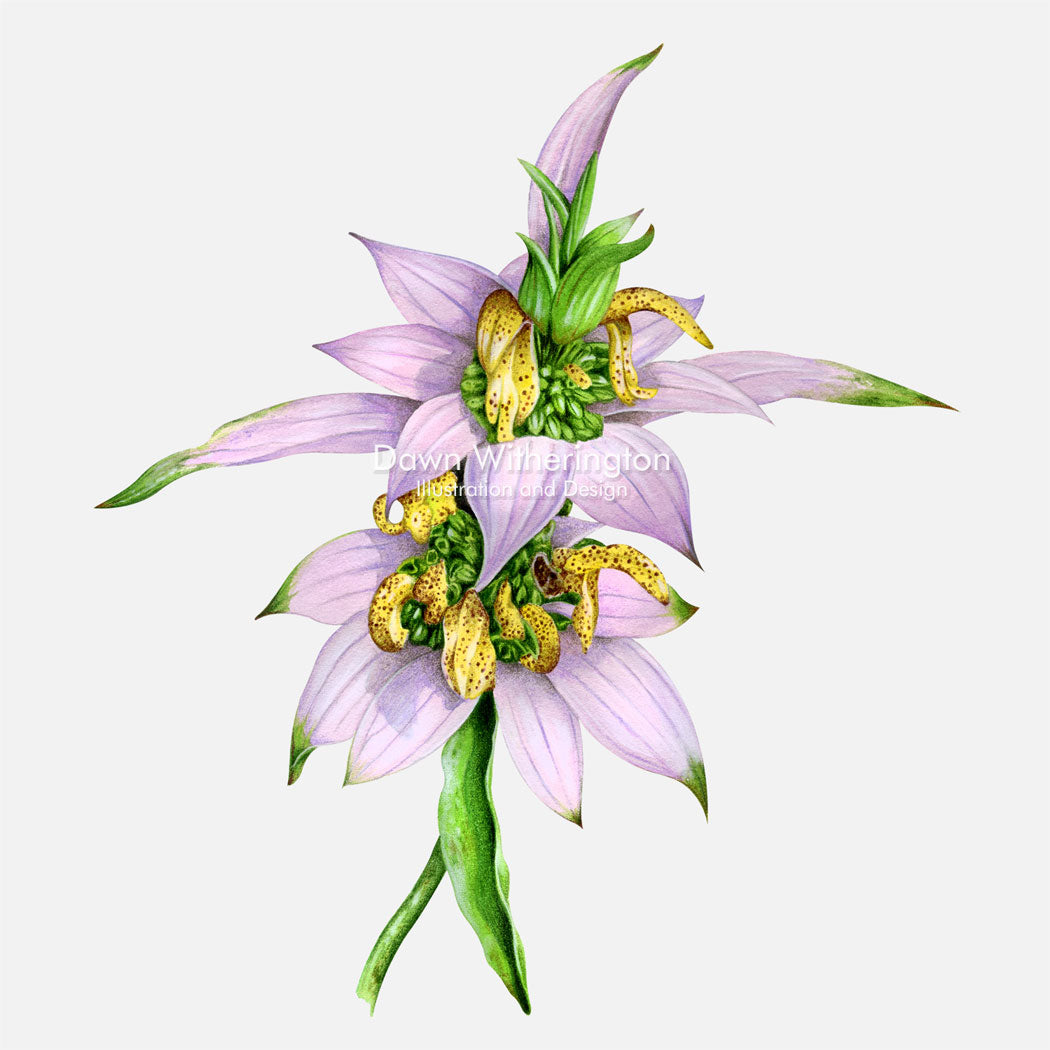 This beautiful illustration of dotted horsemint (Monarda punctata), is botanically accurate in detail.