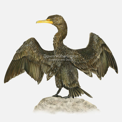 This beautiful illustration of a double-creasted cormorant, Phalacrocorax auritus, is biologically accurate in detail.