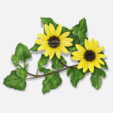 This beautiful illustration of dune sunflowers, Helianthus debilis), is botanically accurate in detail.
