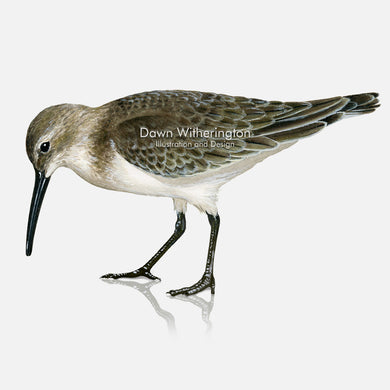 This beautiful illustration of a dunlin, Calidris alpina, in winter plumage, is biologically accurate in detail.