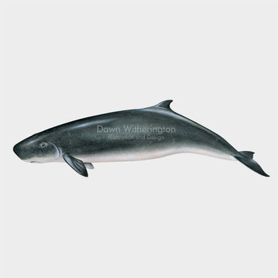 This drawing of a Dwarf sperm whale, Kogia sima, is biologically accurate in detail.