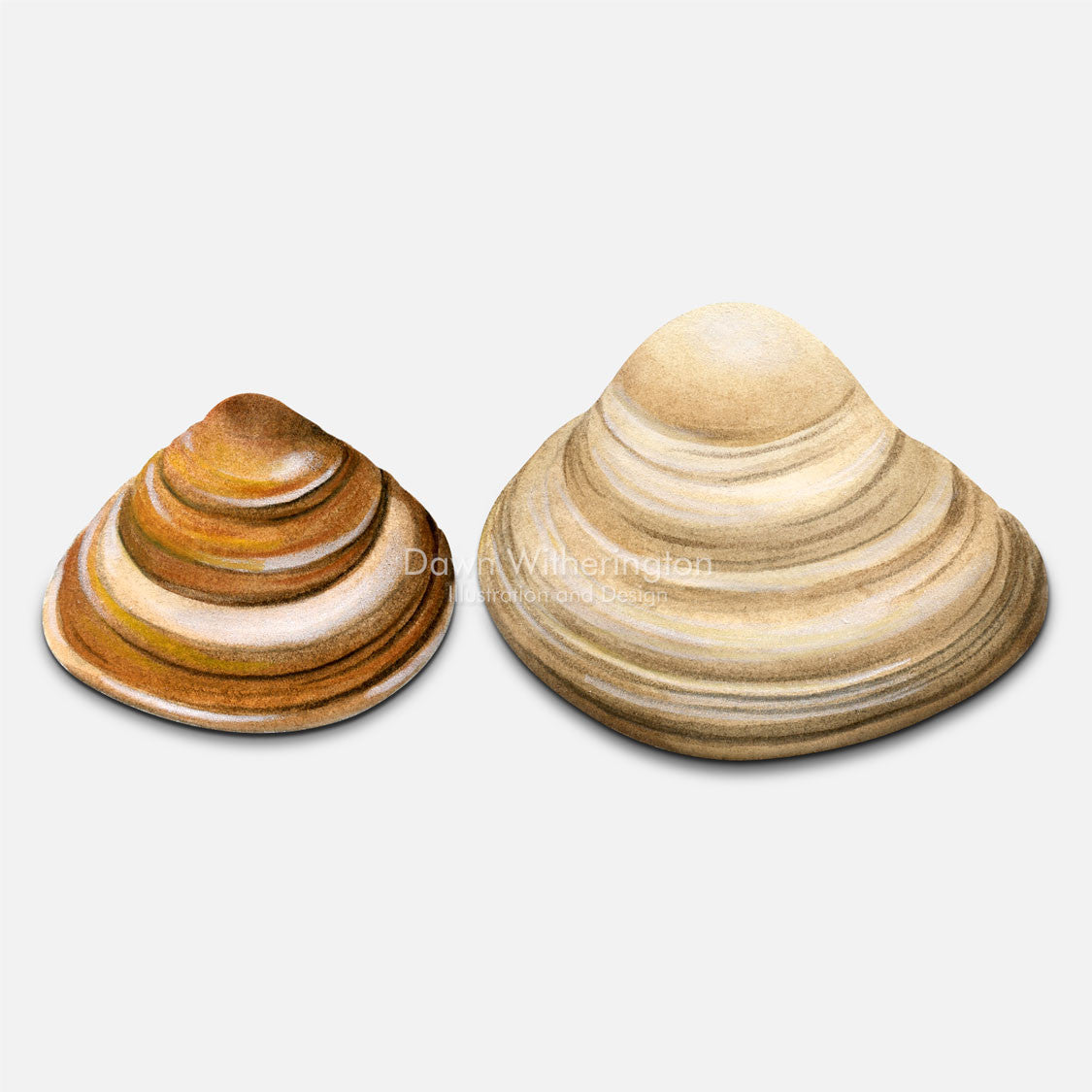 This beautiful drawing of dwarf surf clam shells, Mulinia lateralis, is accurate in detail.