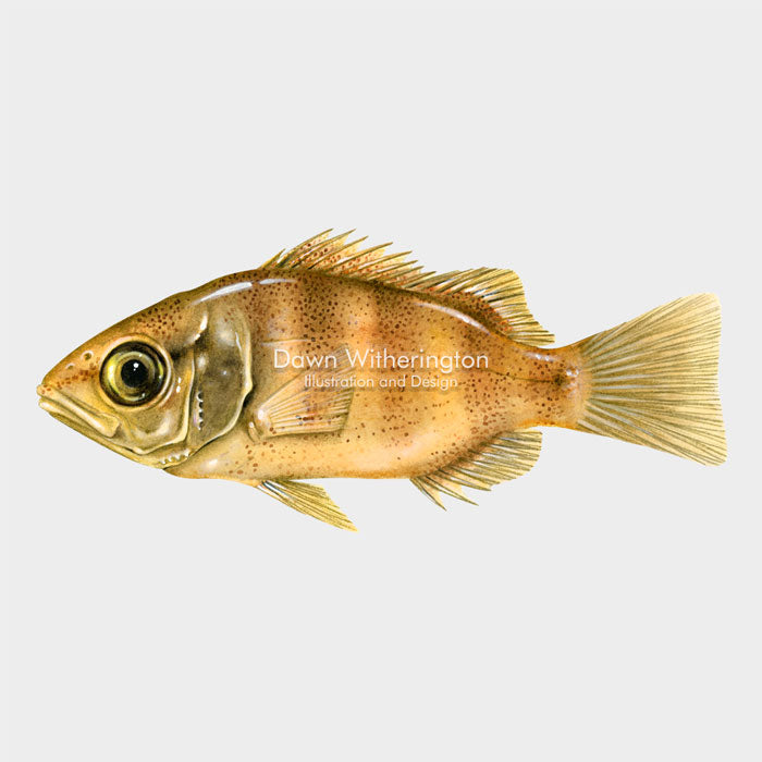 This beautiful illustration of a juvenile mangrove (gray) snapper, Lutjanus griseus, is biologically accurate in detail.