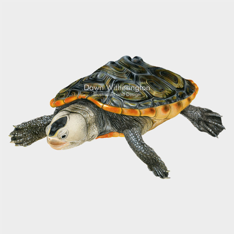 This beautiful illustration of a juvenile Florida east coast diamondback terrapin, Malaclemys terrapin tequesta, is biologically accurate in detail.