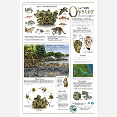 This beautiful poster provides information about the Eastern Oyster, Crassostrea virginica.