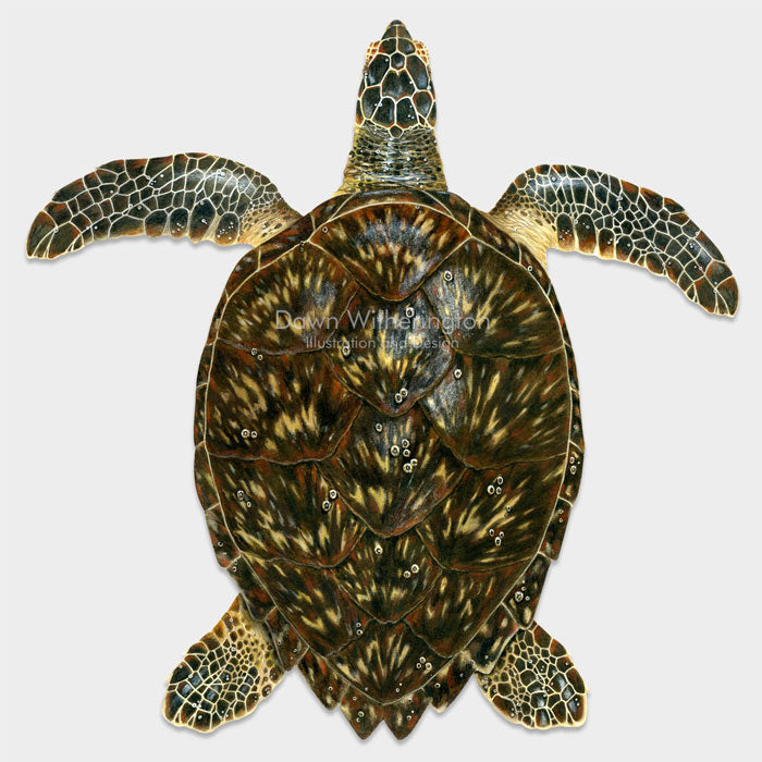 This beautiful drawing of a subadult hawksbill sea turtle, Eretmochelys imbricata, is biologically accurate in detail.