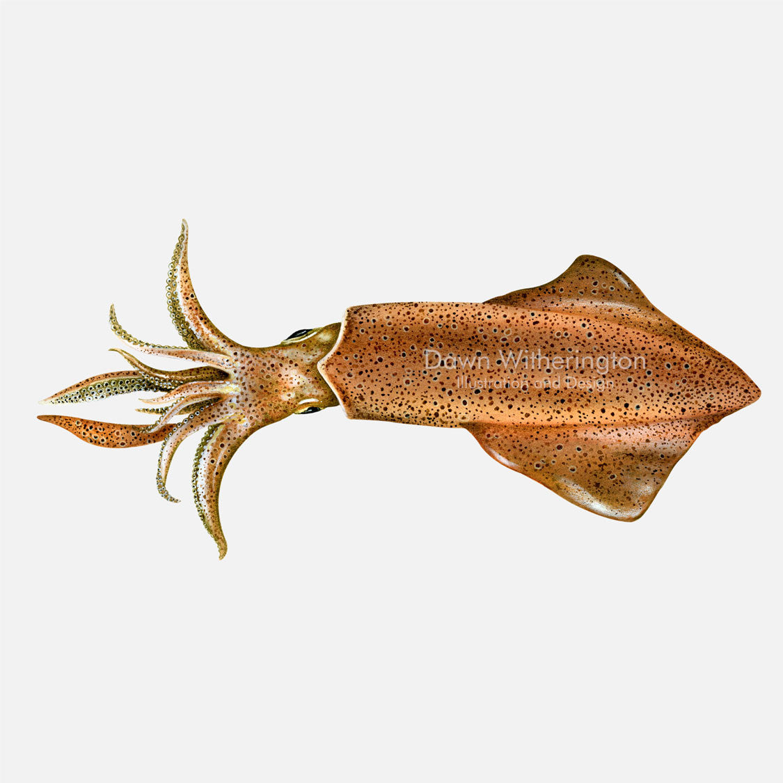 This beautiful drawing of a European squid, Loligo vulgaris, is accurate in detail.