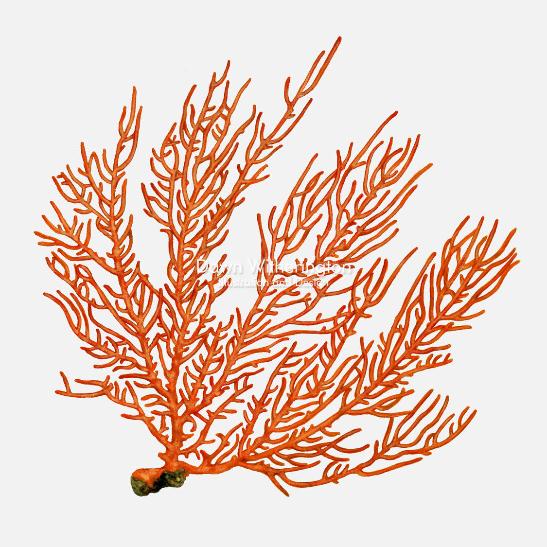 This beautiful illustration of a false sea fan, Leptogorgia hebes, is accurate in detail.
