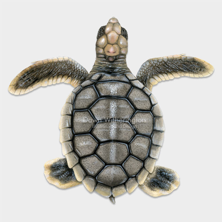 This beautiful dorsal illustration of a hatchling flatback sea turtle, Natator depressus, is biologically accurate in detail.