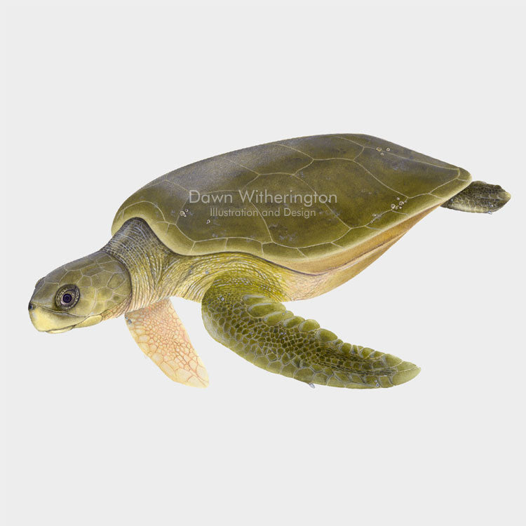 This beautiful illustration of a swimming flatback sea turtle, Natator depressus, is biologically accurate in detail.