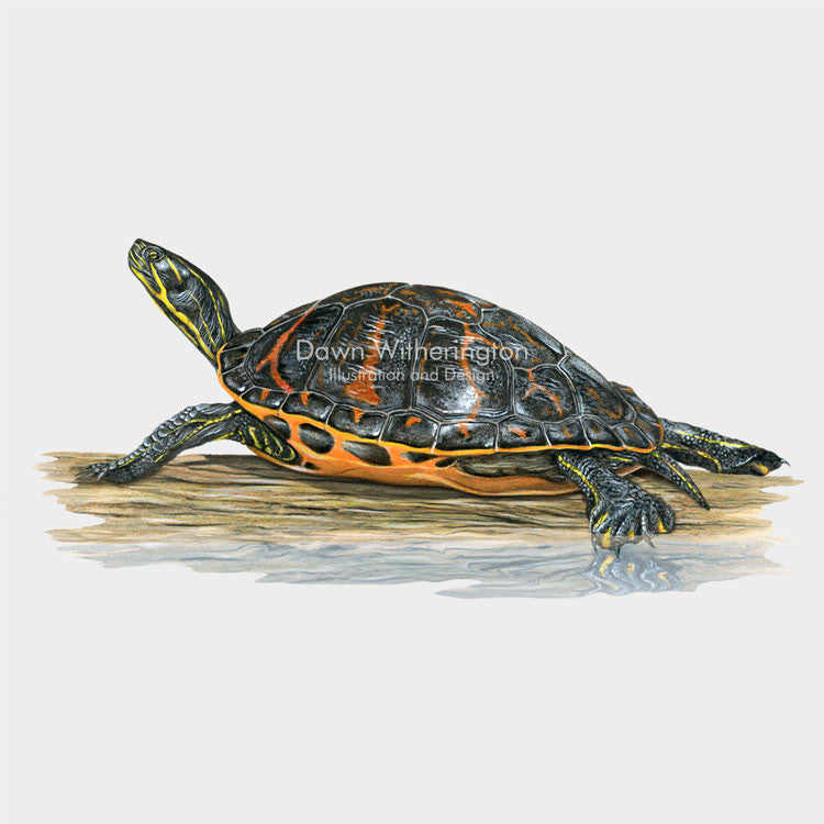 This lovely illustration of a Florida red-bellied cooter, Pseudemys nelsoni, is biologically accurate in detail.
