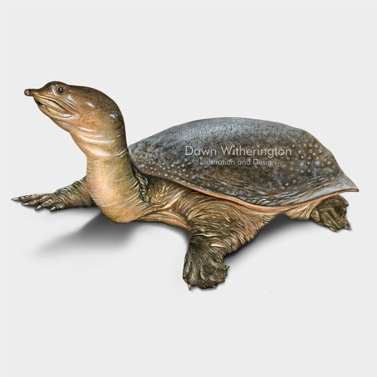 This lovely drawing of a Florida softshell turtle, Apalone ferox, is biologically accurate in detail.