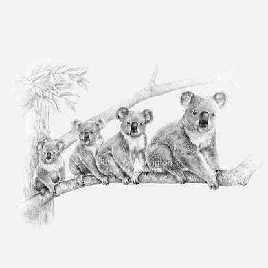 This lovely pencil illustration of a family of koala bears, Phascolarctos cinereus, is beautifully detailed.