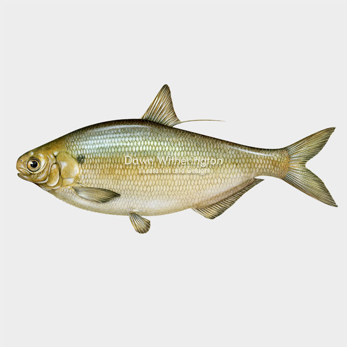 This beautiful illustration of a gizzard shad, Dorosoma cepedianum, is biologically accurate in detail.