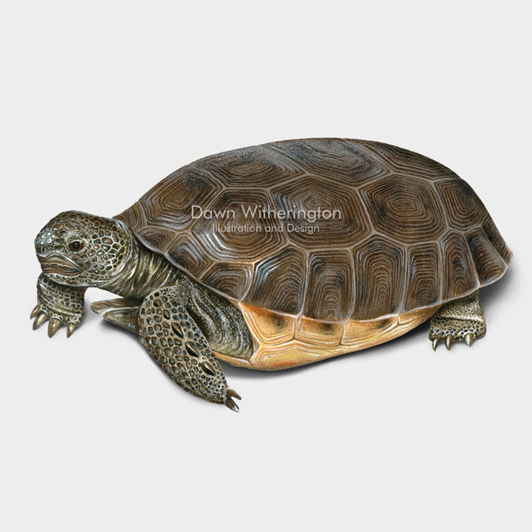 This beautiful illustration of a gopher tortoise, Gopherus polyphemus, is biologically accurate in detail.