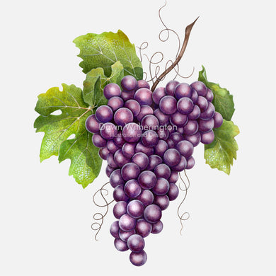 Illustration of purple grapes.