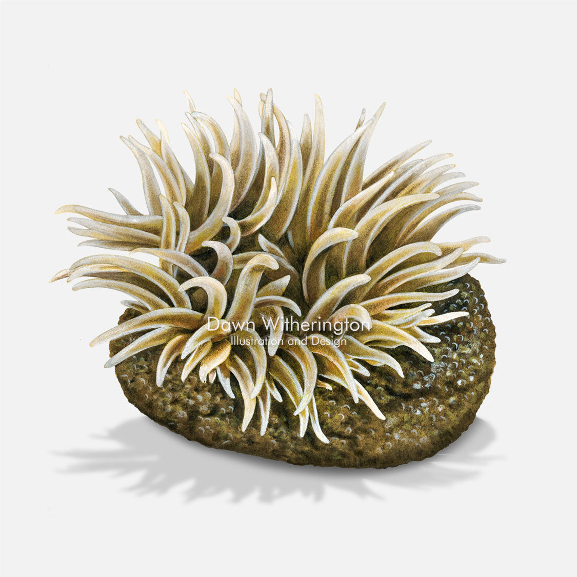 This beautiful illustration of a gray warty anemone, Anthopleura krebsi, is accurate in detail.