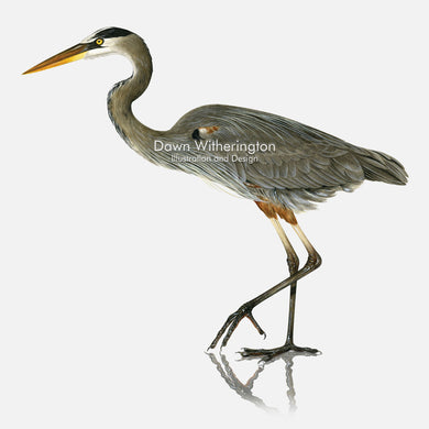 This beautiful illustration of a great blue heron, Ardea herodias, is biologically accurate in detail.