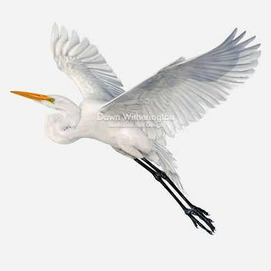 This beautiful illustration of a great egret, Ardea alba, in flight, is biologically accurate in detail.