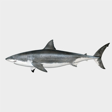 This wonderful drawing of a great white shark, Carcharodon carcharias, is biologically accurate in detail.