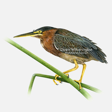 This beautiful illustration of a green heron, Butorides virescens, is biologically accurate in detail.