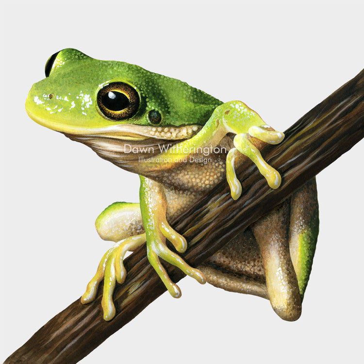 This lovely drawing of an American green tree frog, Hyla cinerea, is biologically accurate in detail.
