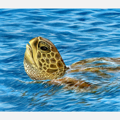This beautiful illustration of a basking green turtle, Chelonia midas, is accurate in detail.