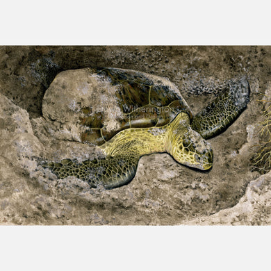 This beautiful illustration is of a nesting green turtle, Chelonia mydas, on a Florida beach.
