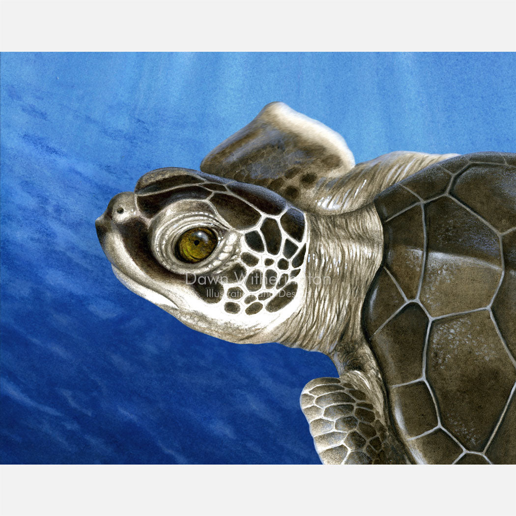 This beautiful drawing of a post-hatchling green turtle, Chelonia mydas, is biologically accurate in detail.