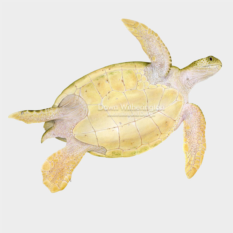 This beautiful illustration of the ventral view of a green sea turtle, Chelonia mydas is biologically accurate in detail.