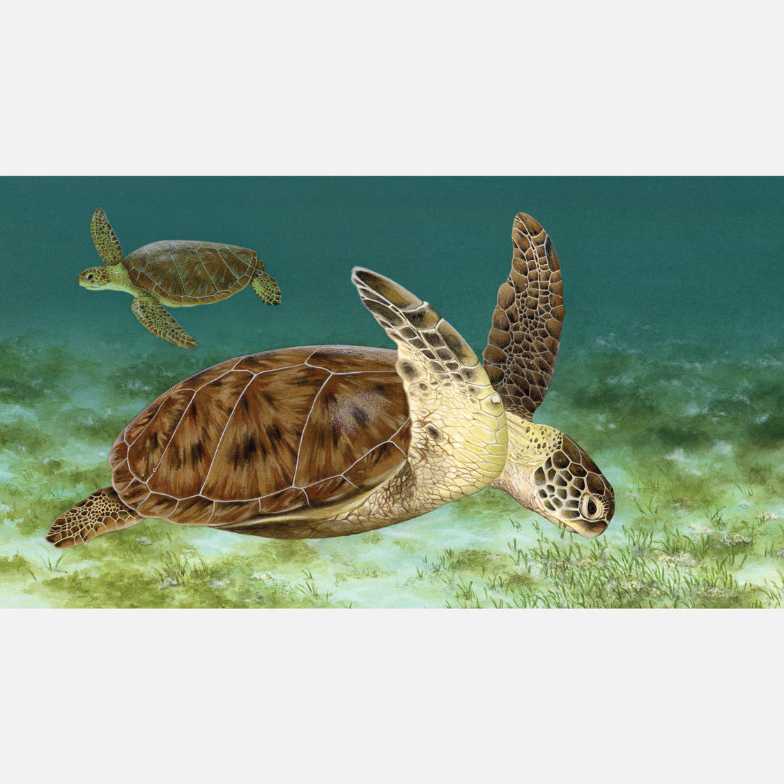 This beautiful illustration is of a green turtle eating seagrass.