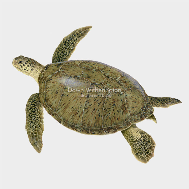 This beautiful illustration of a green sea turtle, Chelonia mydas, is biologically accurate in detail.