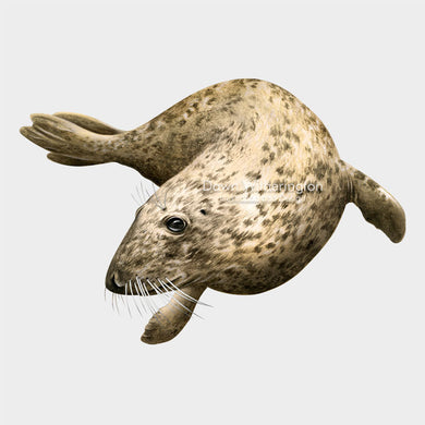 This is a lovely drawing of a swimming gray seal Halichoerus grypus.