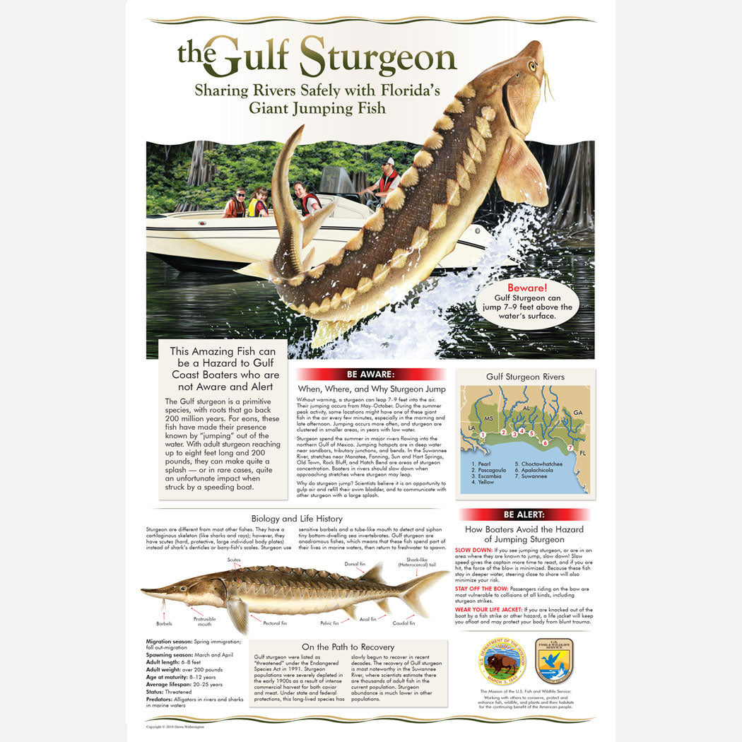 This beautiful life history poster about the Gulf sturgeon (Acipenser oxyrinchus desotoi), has an emphasis on boating safety while sharing the waters with these fish.