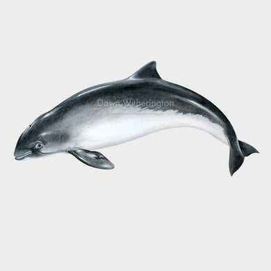 This illustration of a harbor porpoise, Phocoena phocoena, is biologically accurate in detail.