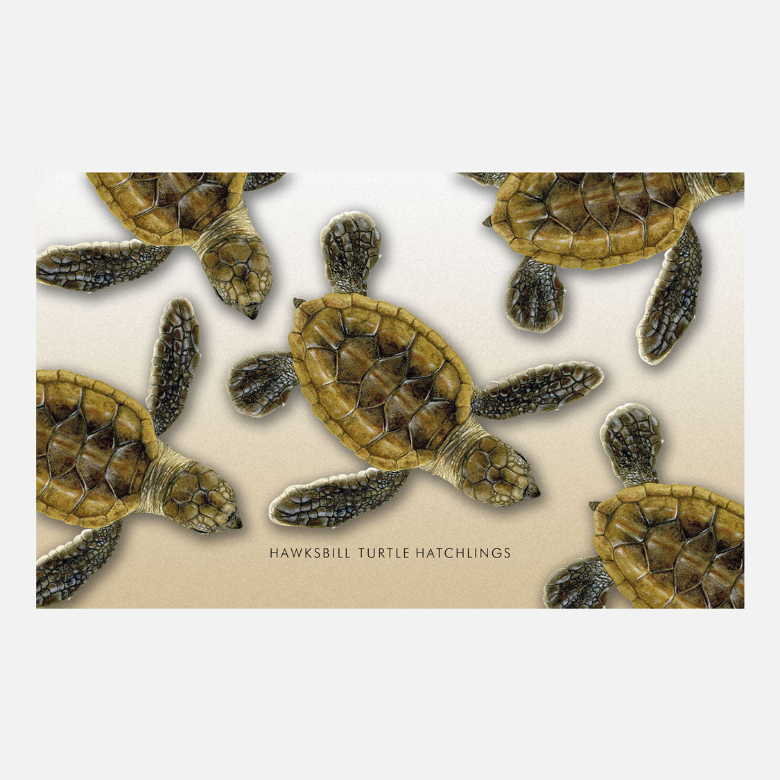 Hawksbill sea turtle hatchlings