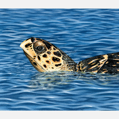This is a beautiful, accurately detailed illustration is of a basking hawksbill sea turtle, Eretmochelys imbricata.