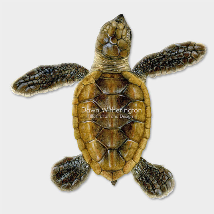 This beautiful drawing of a hatchling hawksbill sea turtle, Eretmochelys imbricata, is biologically accurate in detail.