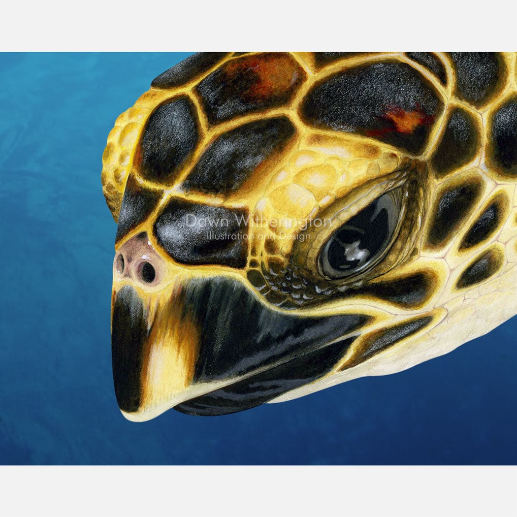 This beautiful drawing of an oceanic hawksbill sea turtle, Eretmochelys imbricata, is biologically accurate in detail.