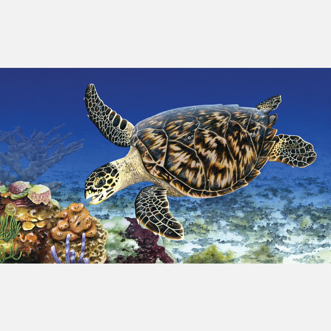 This beautiful illustration is of a hawksbill sea turtle, Eretmochelys imbricata, foraging on sponges on a coral reef.